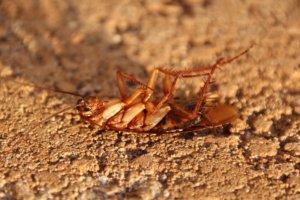 Kakkerlakken