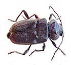 Boktor Houtworm Verdelgen