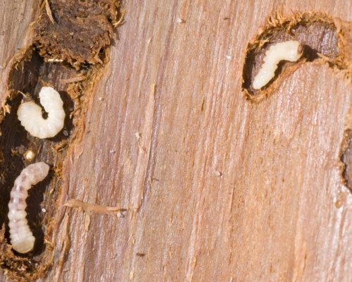 houtworm houtaantasters bestrijden