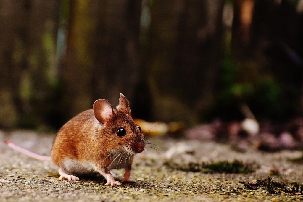 seizoensgebonden ongedierte muizen